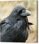 Old Crow Canvas Print