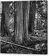 Old Growth Cedar Trees - Montana Canvas Print