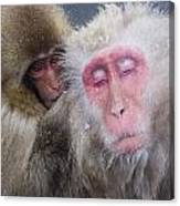 Older Snow Monkey Being Groomed By A Canvas Print