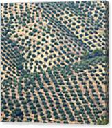 Olive Groves, Andalusia, Southern Spain. Canvas Print