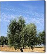 Olive Tree In Provence Canvas Print