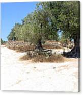 Olive Trees In Samaria Canvas Print