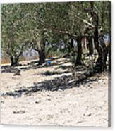 Olive Trees In Sebastia Nablus Canvas Print