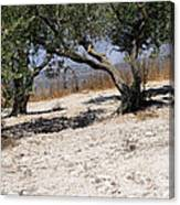 Olive Trees Standing Alone Canvas Print