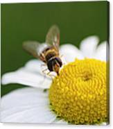 On A Daisy Canvas Print