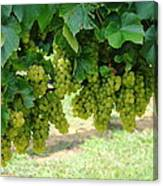 On The Vine - Before The Wine Canvas Print