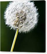 One Dandelion Flower Isolated  Canvas Print