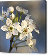 One Fine Morning In Bradford Pear Blossoms Canvas Print