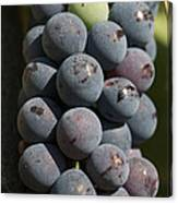 One Green Grape Stands Out In A Bunch Canvas Print