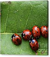 One Lady Bug Voted Off The Island Canvas Print