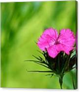 One Of The Phlox Canvas Print