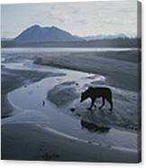 One Of Vargas Islands Habituated Wolves Canvas Print