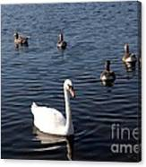 One Swan Six Ducks Canvas Print