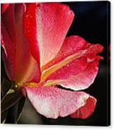 Open Rose After The Rain Canvas Print