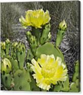 Opuntia Opuntia Sp Cactus Flowering Canvas Print