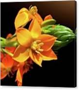 Orange Chincherinchee Canvas Print