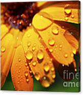 Orange Daisy And Raindrops Canvas Print