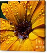 Orange Daisy In The Rain Canvas Print