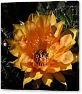 Orange Echinopsis Flower  Canvas Print