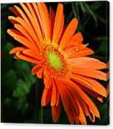 Orange Gerber Canvas Print