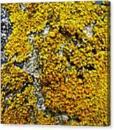 Orange Lichen - Xanthoria Parietina Canvas Print