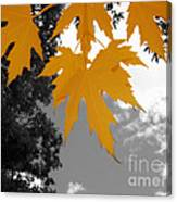 Orange Maple Leaves Canvas Print