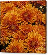 Orange Mums Canvas Print