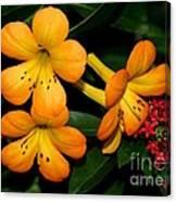 Orange Rhododendron Flowers Canvas Print