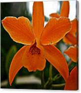 Orange Sherbert  Orchid Canvas Print