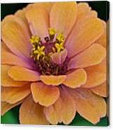 Orange Zinnia_9475_4267 Canvas Print