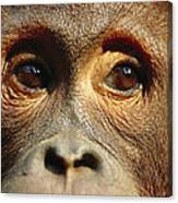 Orangutan Eyes Borneo Canvas Print
