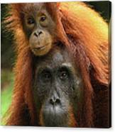 Orangutan Pongo Pygmaeus Female Canvas Print