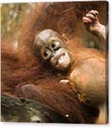 Orangutan Pongo Pygmaeus.  Juvenile Canvas Print