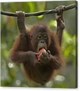 Orangutan Pongo Pygmaeus Young Eating Canvas Print