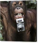 Orangutan With Tourists Camera Canvas Print