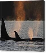 Orca Orcinus Orca Resident Pod Canvas Print