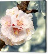Orchard Of Apricot Trees Canvas Print