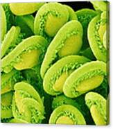 Orchic Cactus Ovules, Sem Canvas Print