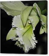 orchid 900 Brassolaeliocattleya Ruben's Verde Chantilly Green Canvas Print