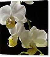Orchid Blossom Cluster Canvas Print