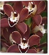 Orchid (cymbidium Sp.) Canvas Print