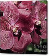 Orchid Vanda And Ascocenda Hybrid II Canvas Print