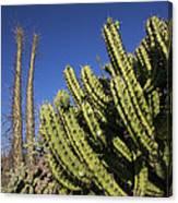 Organ Pipe Cactus Stenocereus Thurberi Canvas Print