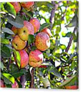Organic Apples In A Tree Canvas Print