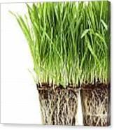 Organic Wheat Grass On White Canvas Print