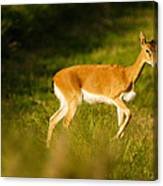 Oribi Two Canvas Print