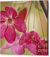 Ornamental Crabapple Blossom Canvas Print
