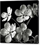 Ornamental Pear In Black And White Canvas Print