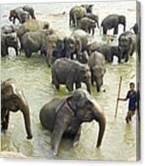 Orphaned Elephants Canvas Print