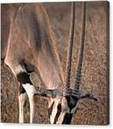 Oryx Oryx Beisa, Samburu National Canvas Print